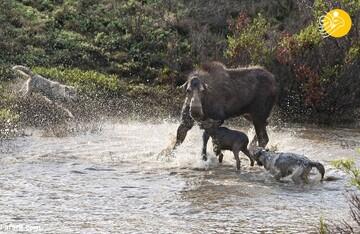 دفاع گوزن مادر از فرزندان خود در حمله گرگها/ تصاویر