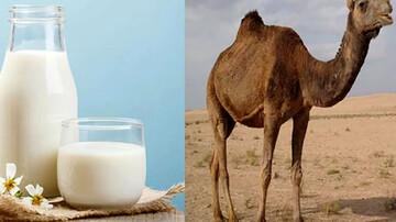 درمان دیابت با شیر شتر