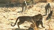 لحظه ناراحت کننده شکار میمون توسط پلنگ/ فیلم