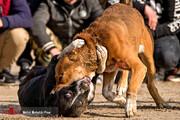 برگزاری مسابقهای عجیب در مازندران/ شرکتکنندگان ۱۰۰ سگ هستند!