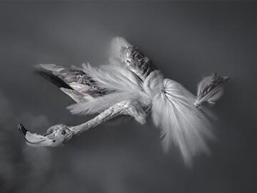 مرگ عجیب ۱۱۷ پرنده مهاجر در تالاب میانکاله مازندران / تصاویر