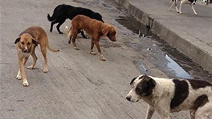حمله سگ وحشی به اهالی یک روستا در مریوان