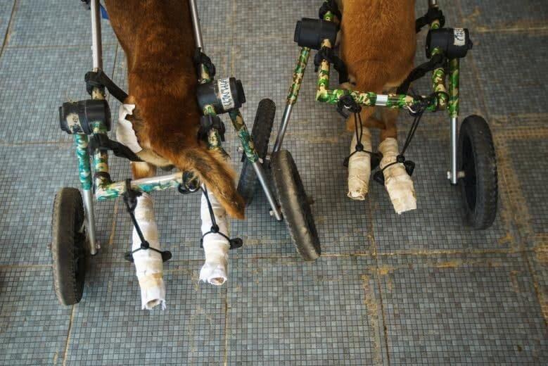 طبیعت گردی و تفریح سگهای معلول با صندلی چرخدار/ تصاویر