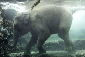نجات بچه فیل گیرافتاده از چاه عمیق در هند / فیلم