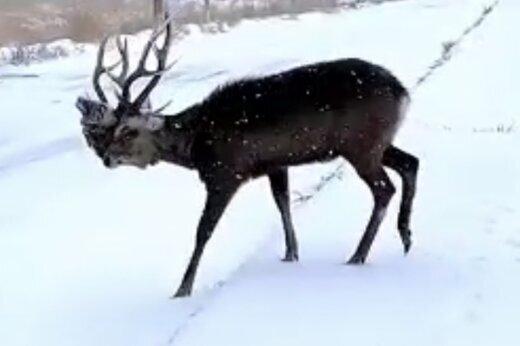 نجات گوزن گیرافتاده در برف / فیلم