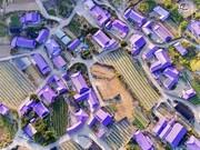جزیرهای به رنگ بنفش در کره جنوبی/ تصاویر