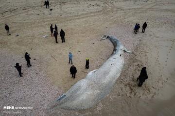 ویدئو دیدنی از همبازی شدن نهنگ سفید با مرغ دریایی