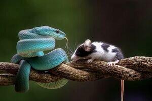 شکار دلخراش موش توسط مار افعی آبی/تصاویر