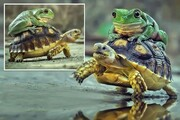 لاکپشتسواری قورباغه در طبیعت/ تصاویر