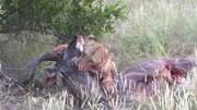 حمله شیر وحشی به کودوهای در حال نزاع / فیلم