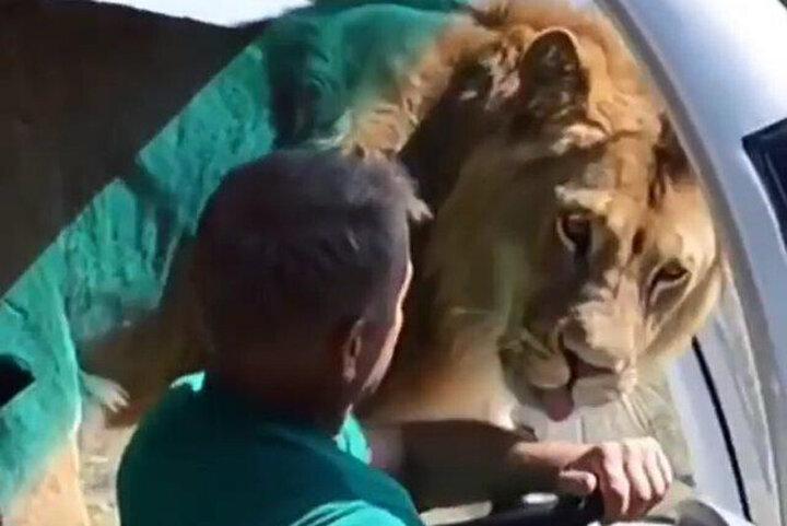 تلاش شیر وحشی برای سوار شدن در خودرو / فیلم