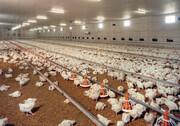 مرغ ارزان میشود؟