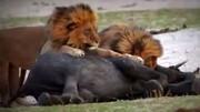 حمله وحشتناک دو شیر گرسنه به بچه فیل / فیلم