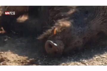 برخورد شدید خودرو با گراز در جاده یاسوج به سی سخت / فیلم