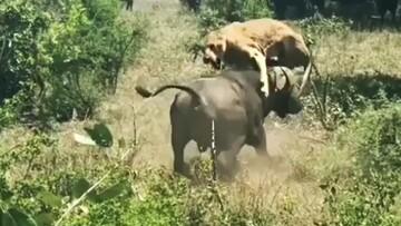 حمله بوفالو وحشی به یک شیر / فیلم