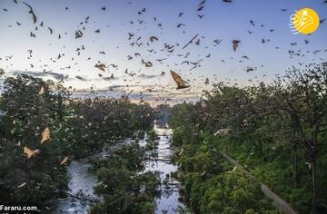 حمله باورنکردنی ۸۰ هزار خفاش به استرالیا! / تصاویر