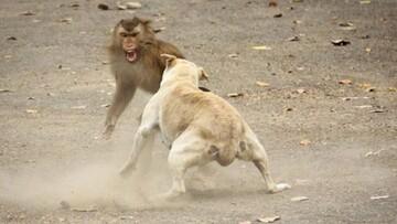 جدال میمون و سگ بر سر غذا / فیلم