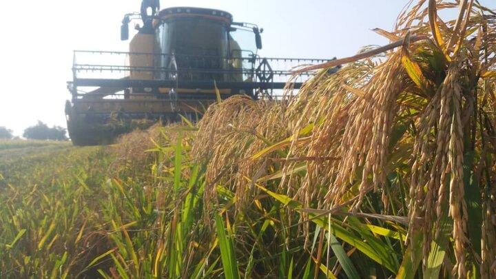 لغو ممنوعیت کشت برنج در سال ۱۴۰۰
