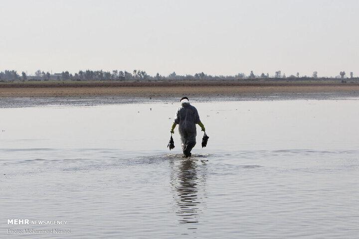 تلفات پرندگان مهاجر در میانکاله به بیش از ۲۰ هزار بال رسید