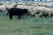 عبور گله گوسفندان از پل عابر پیاده! /فیلم