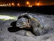 آغاز تخم گذاری لاک پشت پوزه عقابی در جزیره کیش / تصاویر