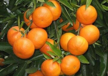 اختلاف باورنکردنی قیمت پرتقال از باغ تا مغازه