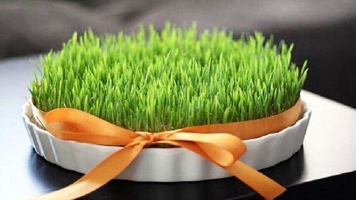نحوه کاشت سبزه گندم برای سفره عید نوروز