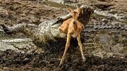 لحظه دلخراش شکار بچه آهو توسط کروکودیل / فیلم