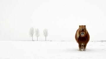 یخ زدن اسب بر اثر سرمای شدید / عکس