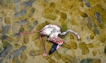 تصاویری دردناک از مرگ تلخ پرندگان مهاجر در تالاب میانکاله