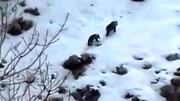 مشاهده ۲ خرس قهوهای ایرانی در کوه سفید / فیلم
