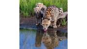 لحظه دیدنی آب خوردن یوزپلنگ و توله بامزهاش! / تصاویر