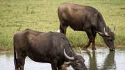 اتفاقی تلخ برای ۱۲ گاو در دزفول