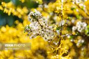 عکسهایی دیدنی از شکوفههای بهاری کرج