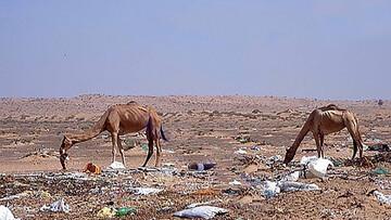 تلف شدن ۳۰۰ شتر بر اثر خوردن کیسههای پلاستیکی