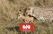 شکار بیرحمانه بچه آهو توسط پلنگ / فیلم
