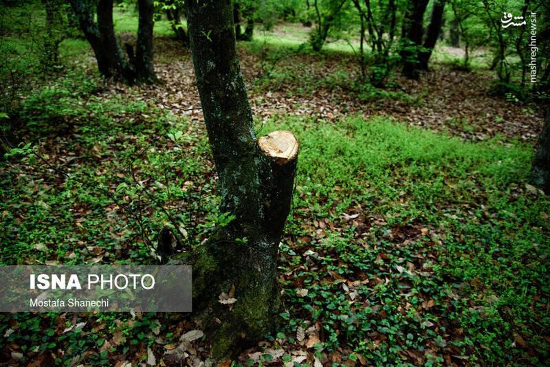 قطع غمانگیز درختان جنگلهای هیرکانی / تصاویر