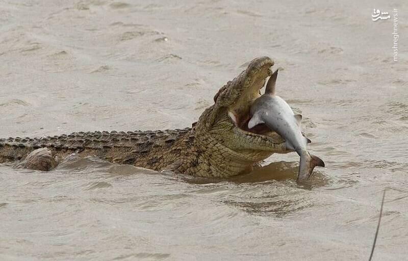 شکار کوسه توسط تمساح غولپیکر / تصاویر