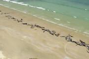 تصاویر دردناک از خودکشی دسته جمعی دلفینها / فیلم