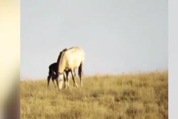 دفاع جانانه اسب از بچه تازه متولد شدهاش در حمله ناموفق پلنگ / فیلم