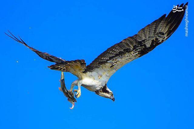 سرعت خارقالعاده عقاب در شکار / فیلم