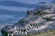فرار گورخر از چنگ تمساح / فیلم
