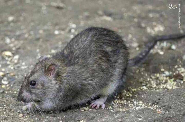 حمله وحشتناک موشهای انگلیسی به زمین یک کشاورز / فیلم