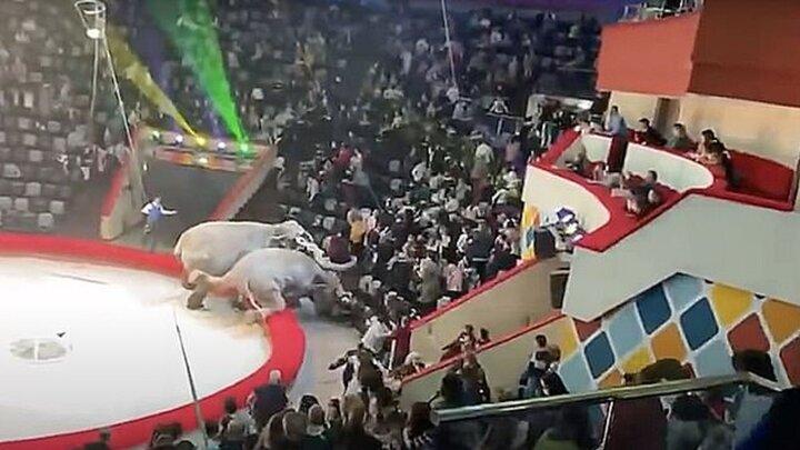 دعوای ترسناک فیلها در سیرک و بیرون افتادن از محل اجرا / فیلم