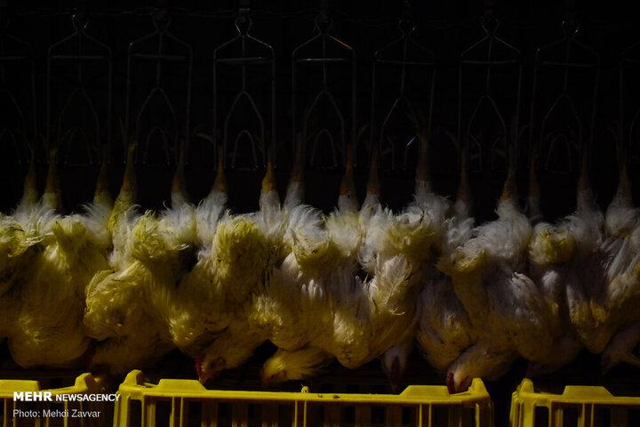 ۸۴۰ کیلو مرغ در شرق تهران کشف شد