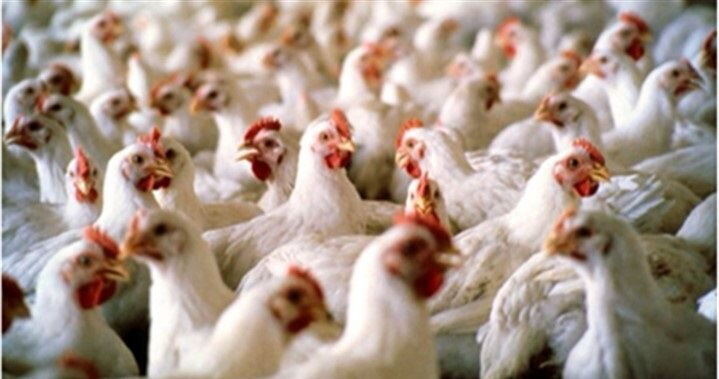 توقیف کامیونهای حامل ۳۵ هزار کیلو مرغ زنده در کاشان