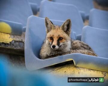 روباه عشق فوتبال تماشاگر ویژه لیگ برتر / عکس