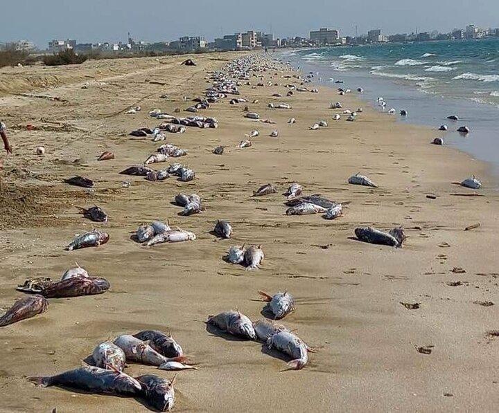 احتمال مرگ ماهیان سواحل جاسک به علت آلودگی نفتی