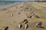 مرگ هزاران گربه ماهی در ساحل جاسک / فیلم