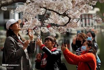 فرارسیدن زودهنگام فصل شکوفه های گیلاس در ژاپن / تصاویر